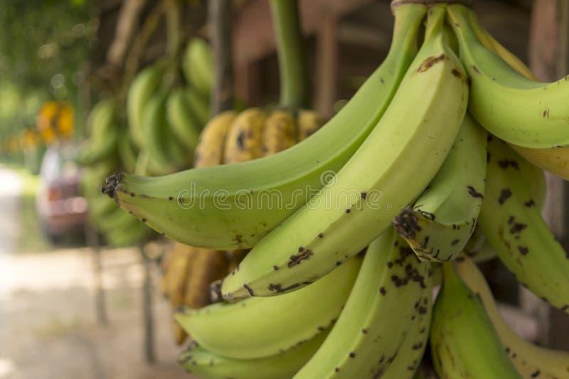 Bananes vertes - Colombie image libre de droits