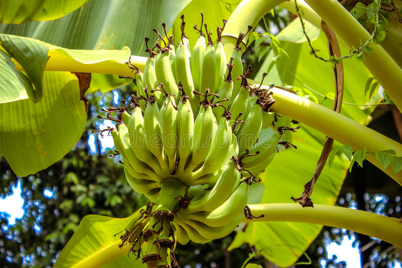 Bananes vertes sur un arbre image libre de droits