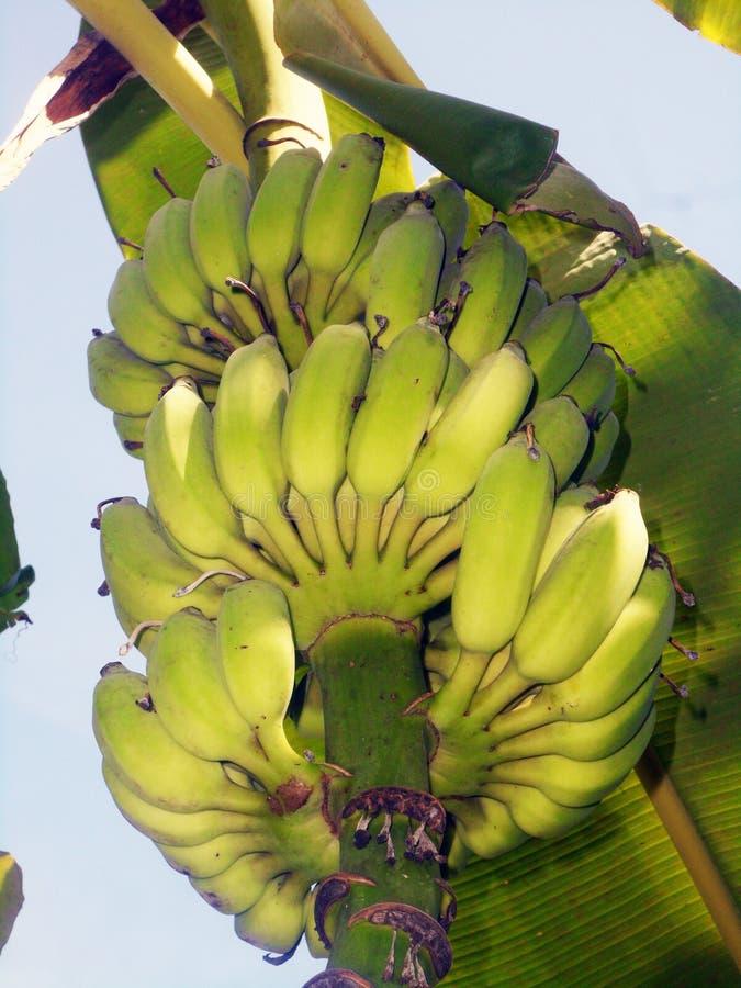 Bananes vertes sur un bananier photos libres de droits