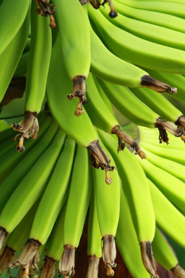 banangreen arkivbilder