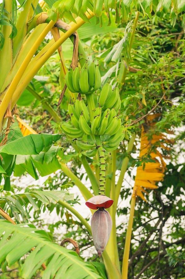 Bananier avec les fruits verts de bananes et le coeur photographie stock libre de droits