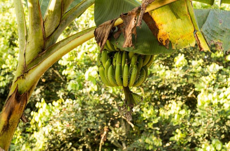 Bananier avec un groupe de bananes photo libre de droits