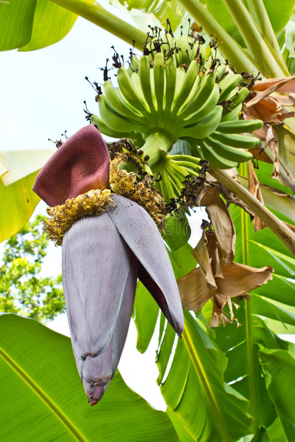 Bananier avec un groupe de bananes photographie stock