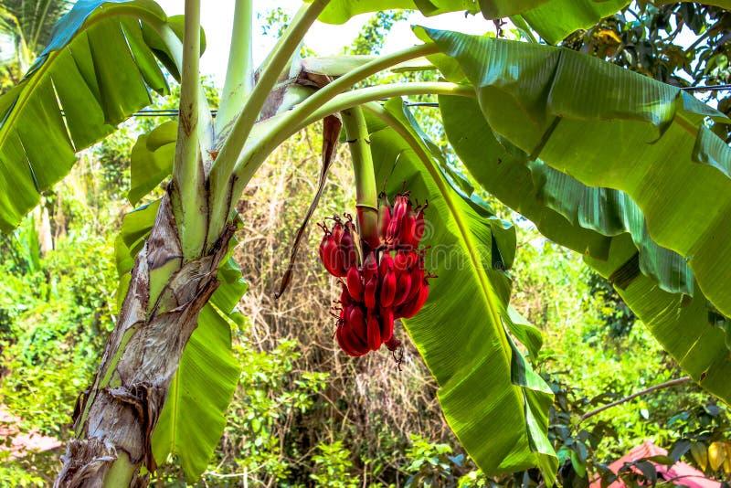 Bananier avec un groupe de bananes rouges photo libre de droits