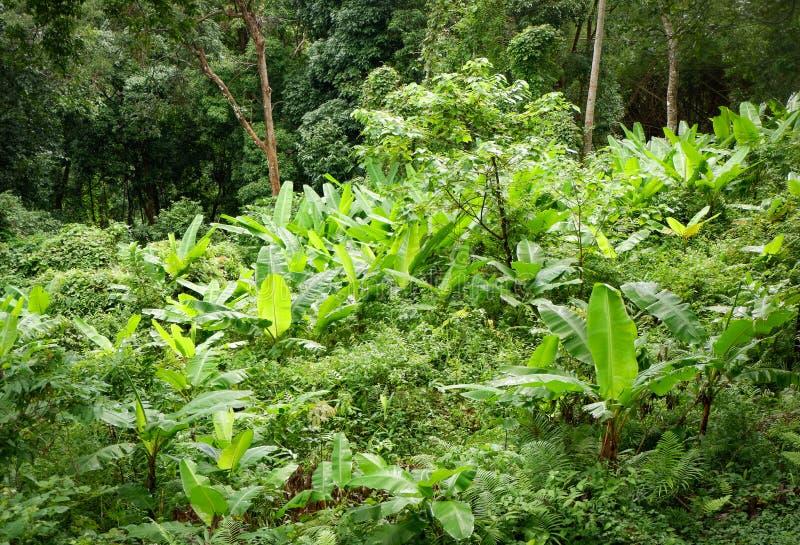 Bananier dans la forêt tropicale photos stock