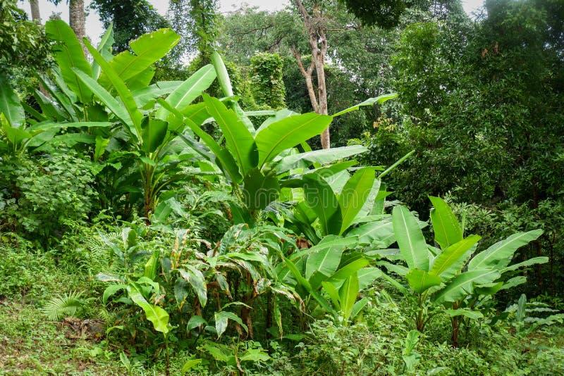 Bananier dans la forêt tropicale images libres de droits