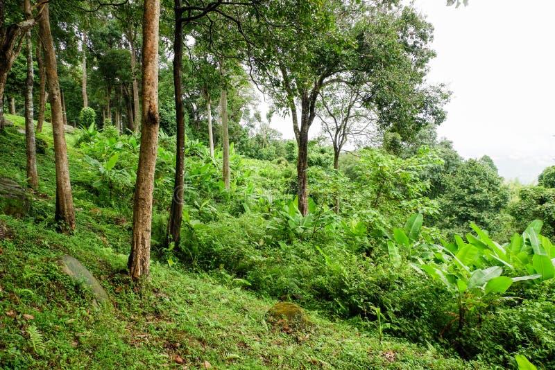 Bananier dans la forêt tropicale photo stock