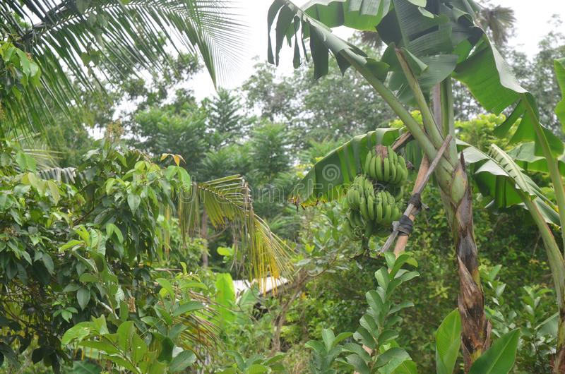 Bananier dans le jardin photo stock