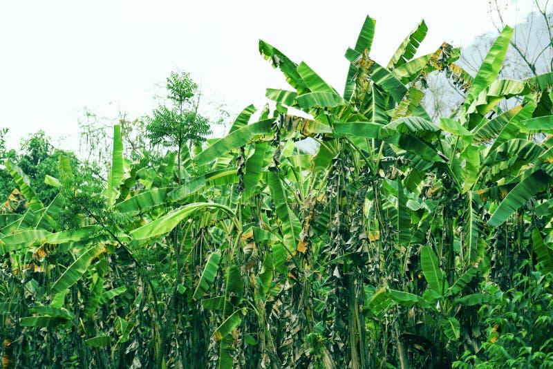bananier de plante tropicale s'élevant à l'arrière-plan de nature de jungle de vert de champ de banane images libres de droits