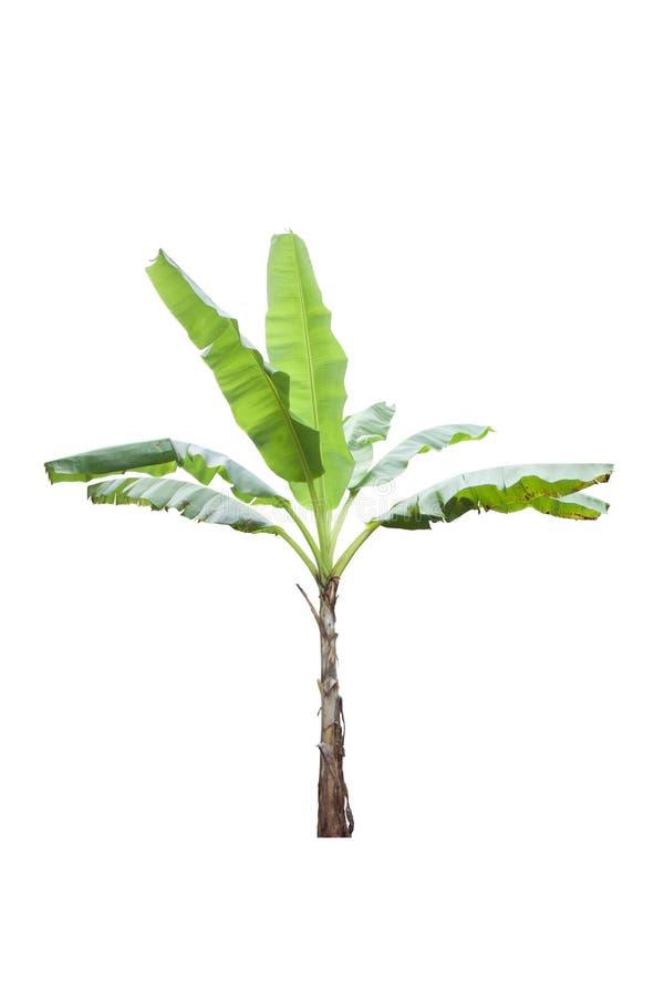 Bananier frais avec des baisses de pluie d'isolement sur le fond blanc image stock