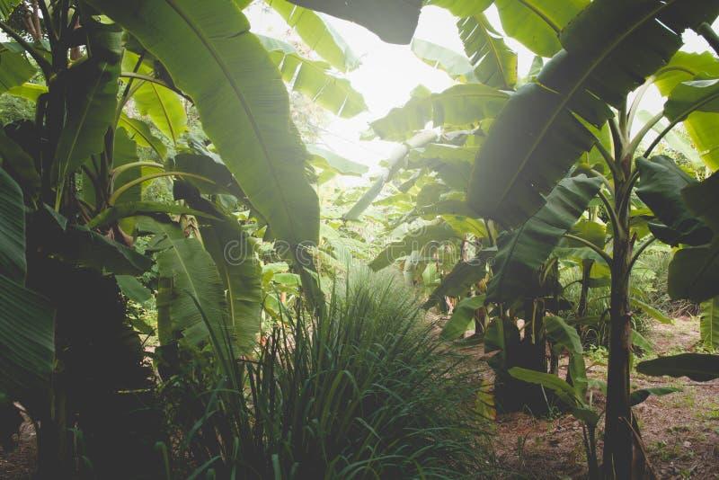 Banano con il mazzo di coltivare le banane verdi mature fotografia stock libera da diritti