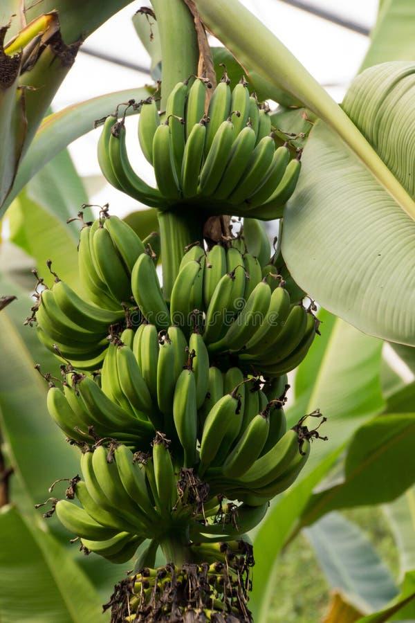 Banano con le banane verdi immagine stock