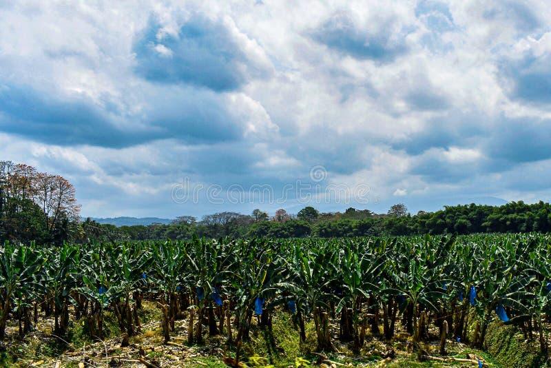 Bananodlingar och träd som odlas i Costa Rica royaltyfria foton