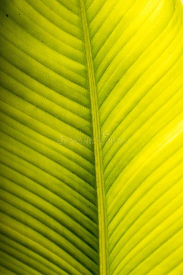 Bananowa drzewko palmowe liścia żyła Świeży i zielony background-2 obrazy royalty free