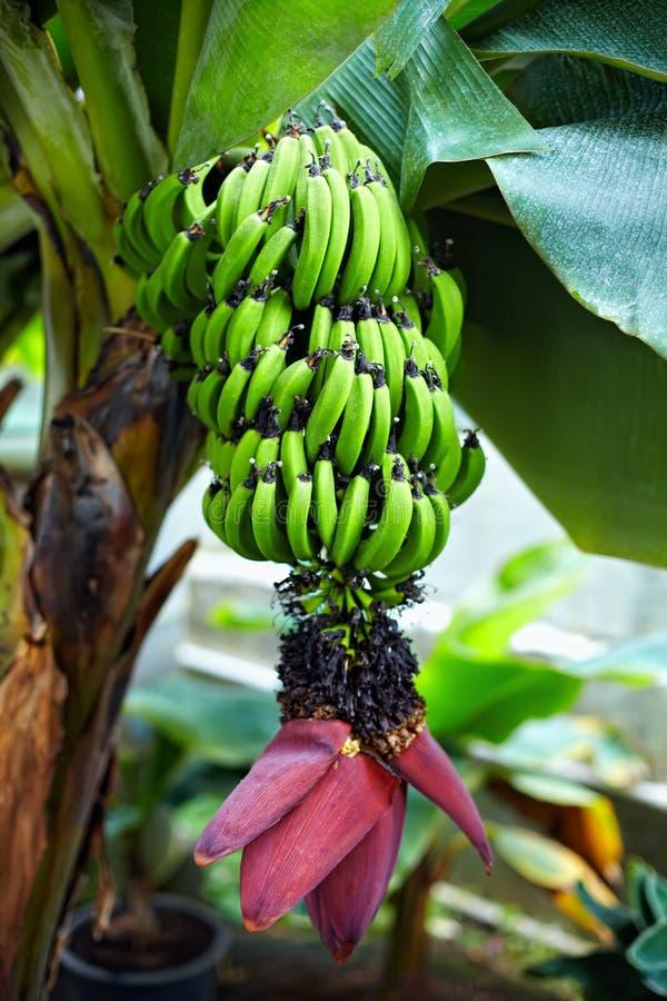 bananowa kwiatu owoc roślina zdjęcie royalty free