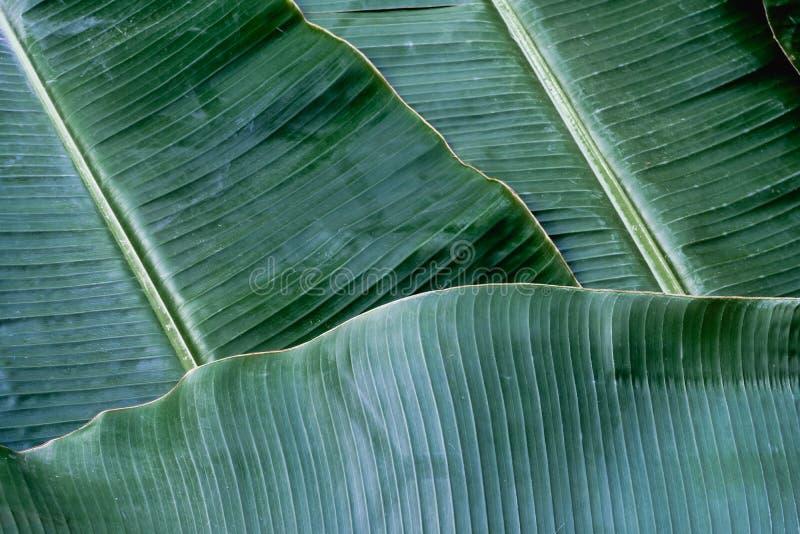 Bananowa li?? tekstura, zielony tropikalny deseniowy t?a poj?cie zdjęcie royalty free
