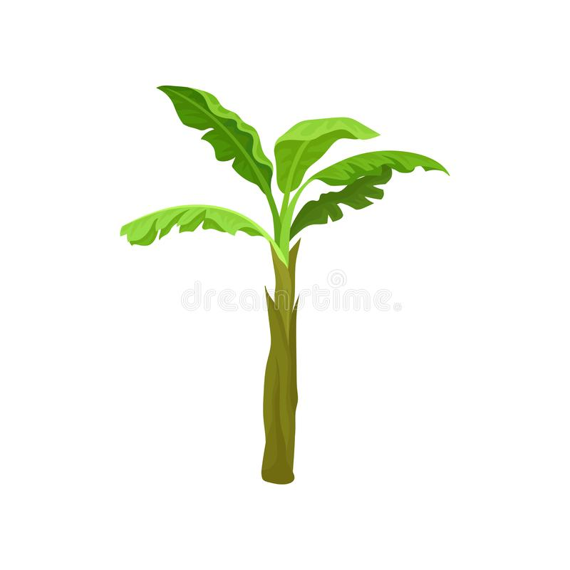 Bananowa palma z duży jaskrawym - zieleń opuszcza Tropikalny owocowy drzewo Krajobrazowy element Płaski wektor dla mobilnej gry ilustracji