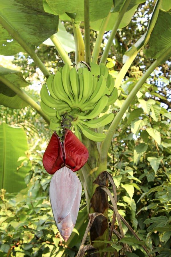 Bananowa roślina i kwiat zdjęcia royalty free