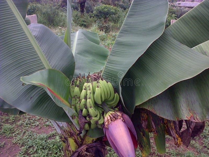 bananowe tło owoc odizolowywali biel obraz stock