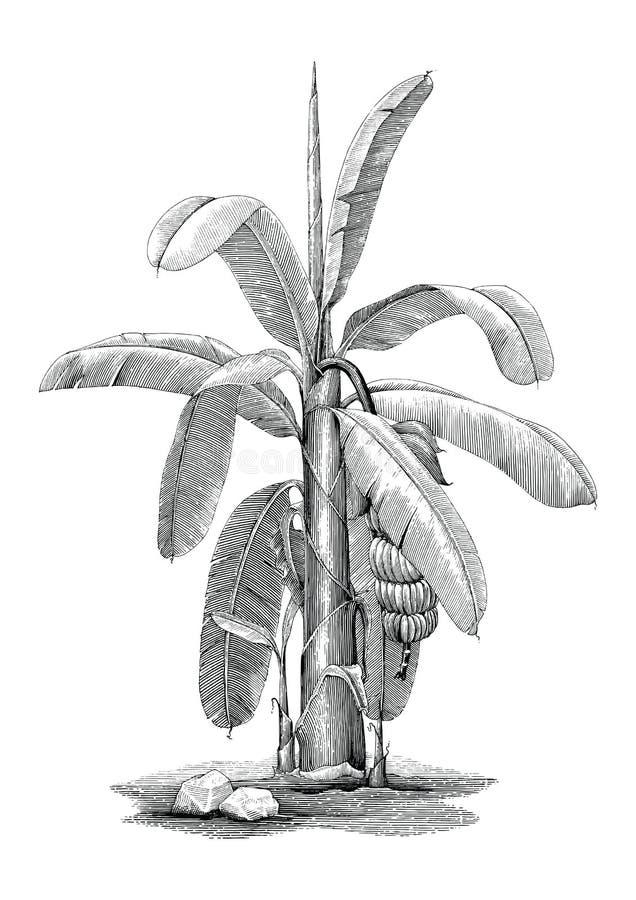 Bananowego drzewa botanicznej ręki rocznika klamerki rysunkowa sztuka ilustracja wektor