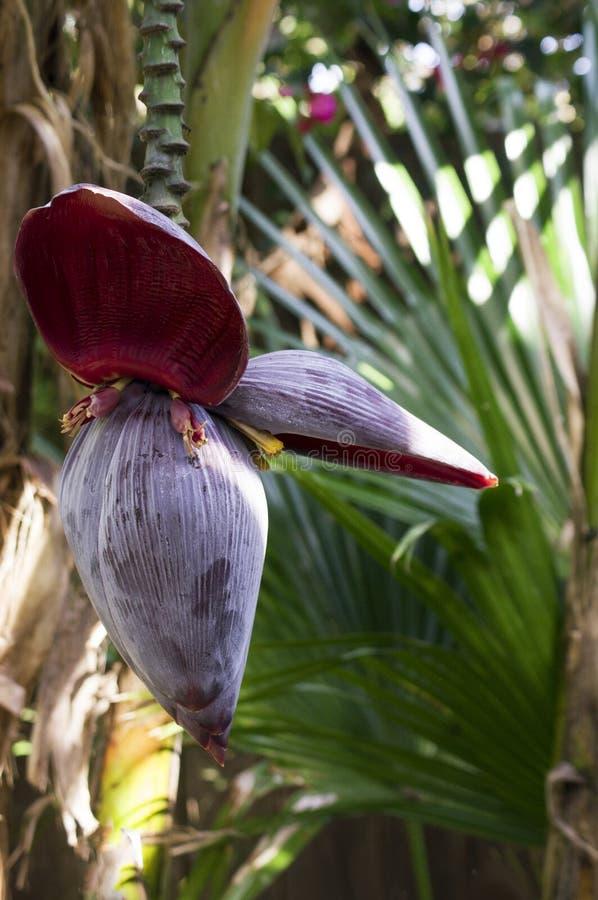 Download Bananowego drzewa kwiat obraz stock. Obraz złożonej z ogród - 28954495