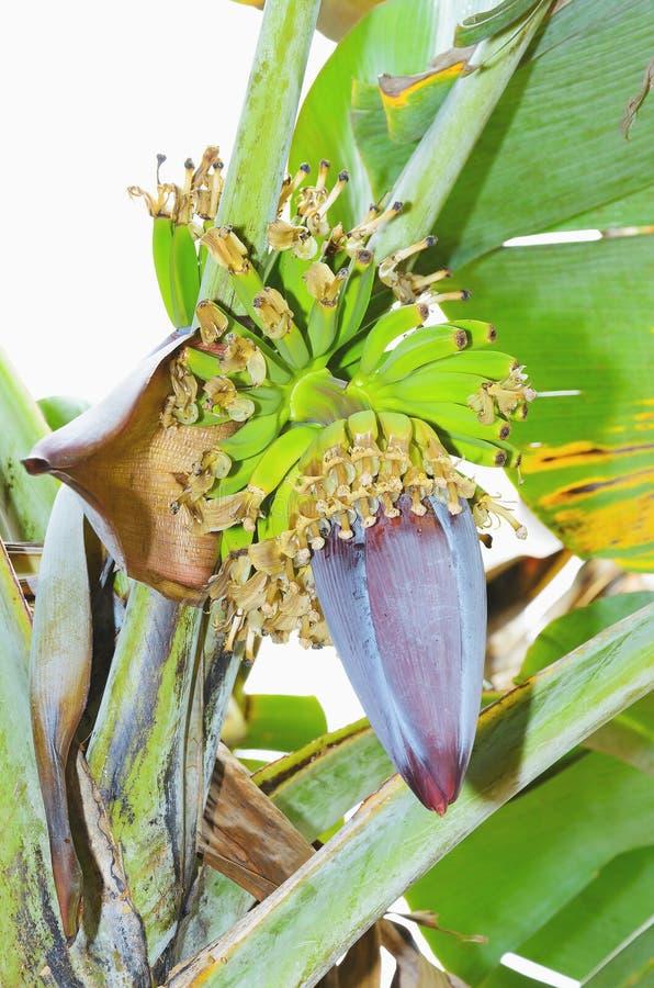 Bananowego drzewa kwiat, narastający banan i serce, fotografia stock