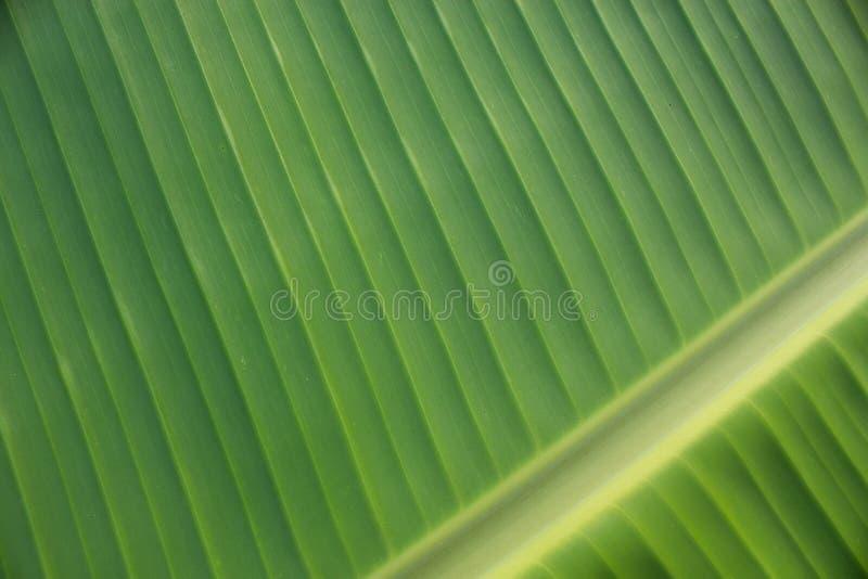 Bananowi liście zdjęcie royalty free