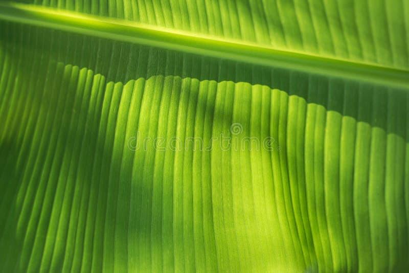 Bananowi liście obraz stock