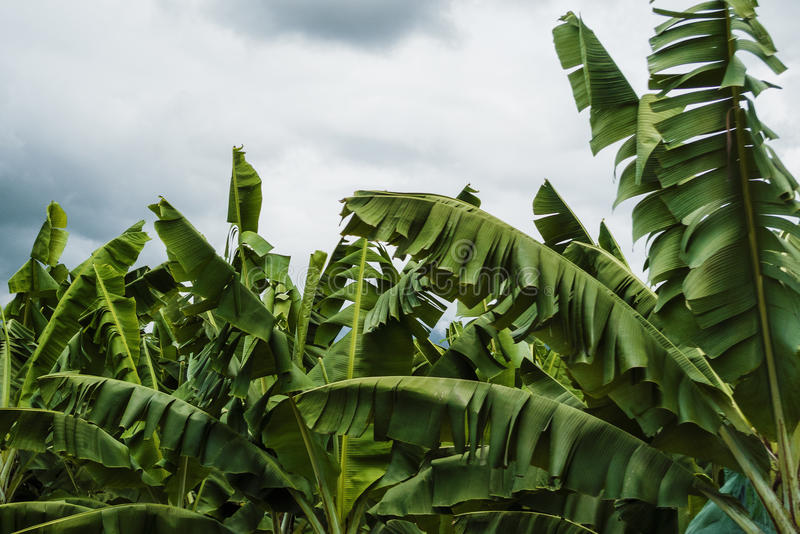 Bananowi liście obrazy royalty free