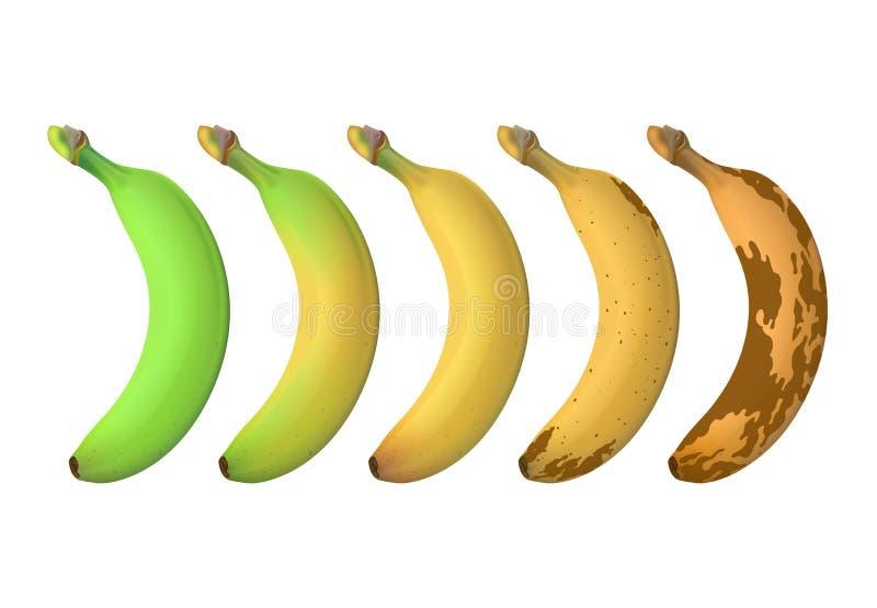 Bananowi owocowi dojrzałość poziomy od zielony underripe brązowić przegniłego Wektor ustawiający odizolowywającym na białym tle ilustracja wektor