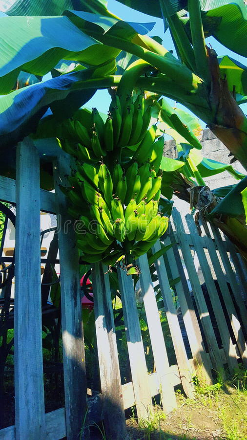 Bananowy drzewko palmowe zdjęcie stock