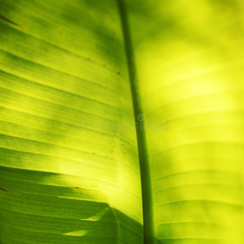 Bananowy drzewko palmowe liścia zakończenie zdjęcie stock