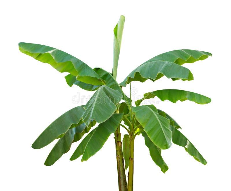 bananowy drzewo fotografia stock