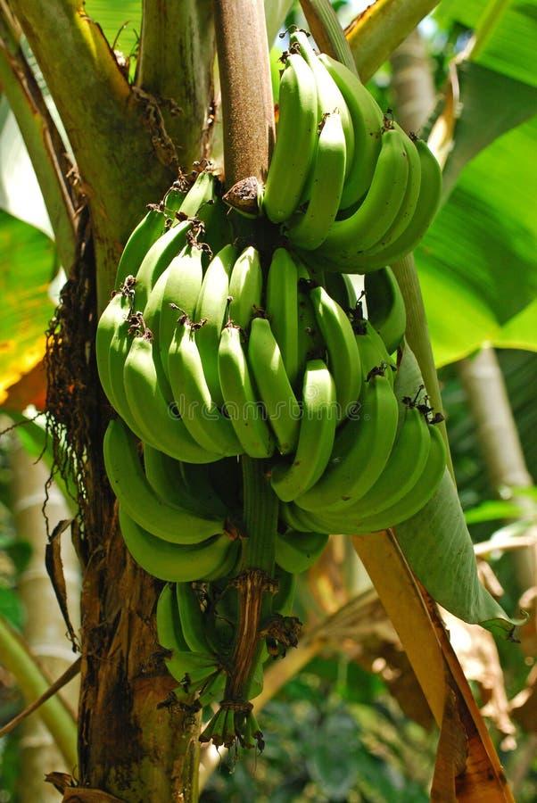 bananowy drzewo obraz royalty free