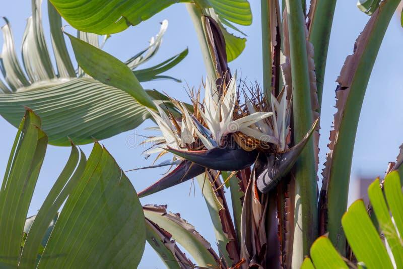 Bananowy drzewo Musa z kwiatu zakończeniem zdjęcia royalty free