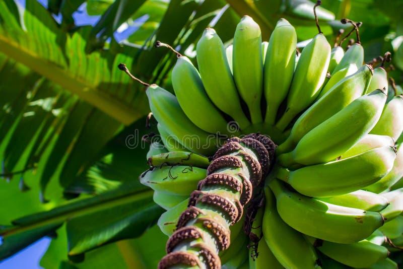 Bananowy drzewo w Russell Nowa Zelandia obrazy stock