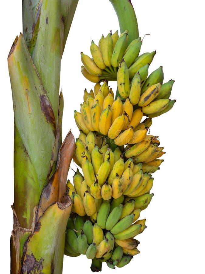 Bananowy drzewo z wiązką dojrzali żółci banany fotografia royalty free