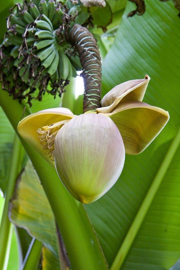 bananowy kwiat obraz stock
