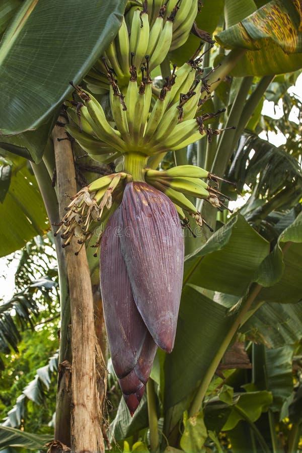 Bananowy kwiat w Khulna, Bangladesz obraz royalty free