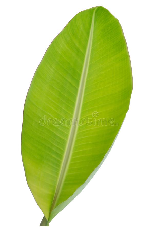 Bananowy liść odizolowywający na białym tle, ścinek ścieżka zdjęcia stock