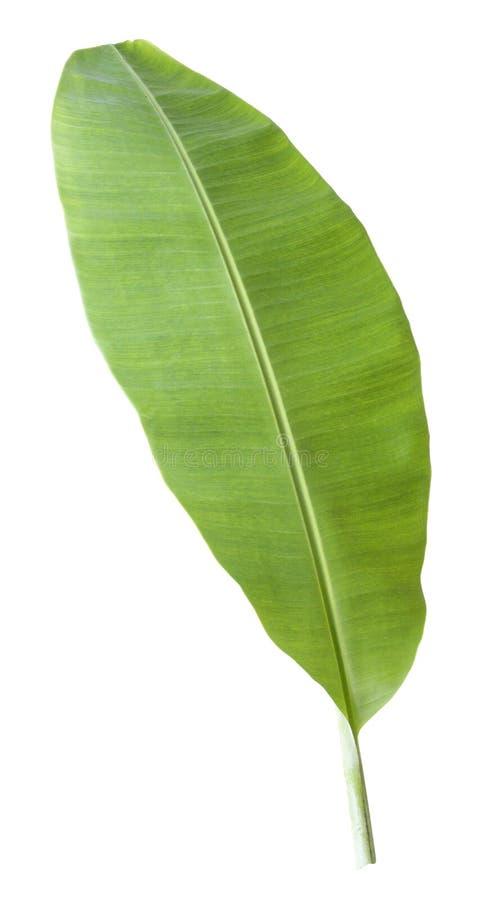 bananowy liść Odizolowywający na białym tle z ścinek ścieżką obrazy royalty free