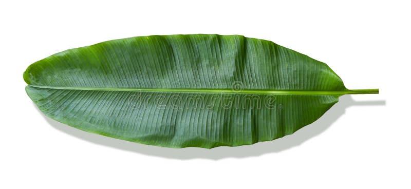 Bananowy li?? na bia?ym tle Ja bardzo wielkich liście i przypomina palmy Roślina kultywuje dobrze i r w tropikalnym obraz royalty free