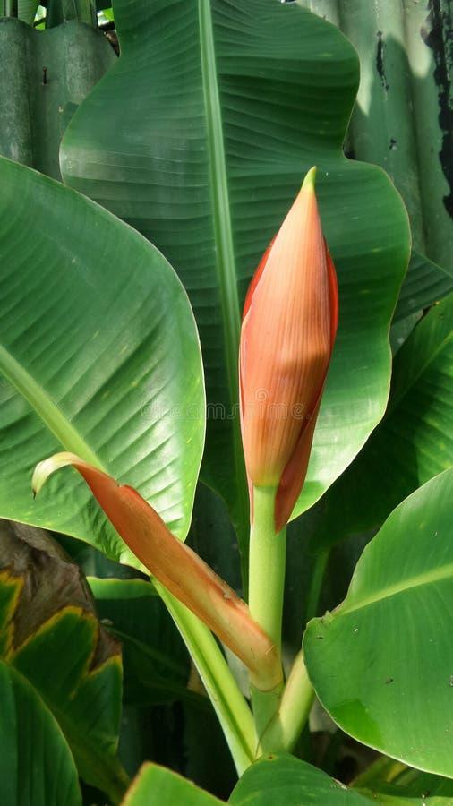 Bananowy okwitnięcie i zieleni liście w podwórku uprawiamy ogródek w Tajlandia obrazy royalty free