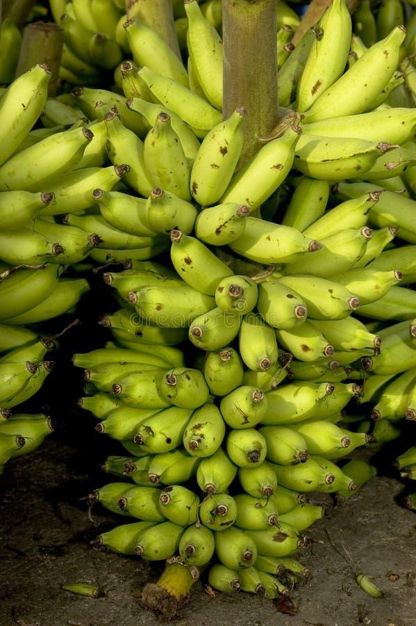 bananowy zbiorów obraz royalty free