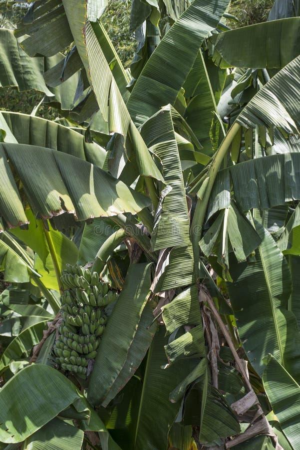 Bananträd i Batangas, Filippinerna royaltyfria bilder
