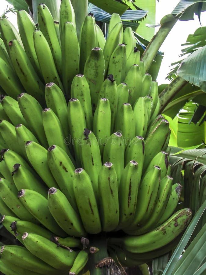 Bananträd i Brasilien fotografering för bildbyråer