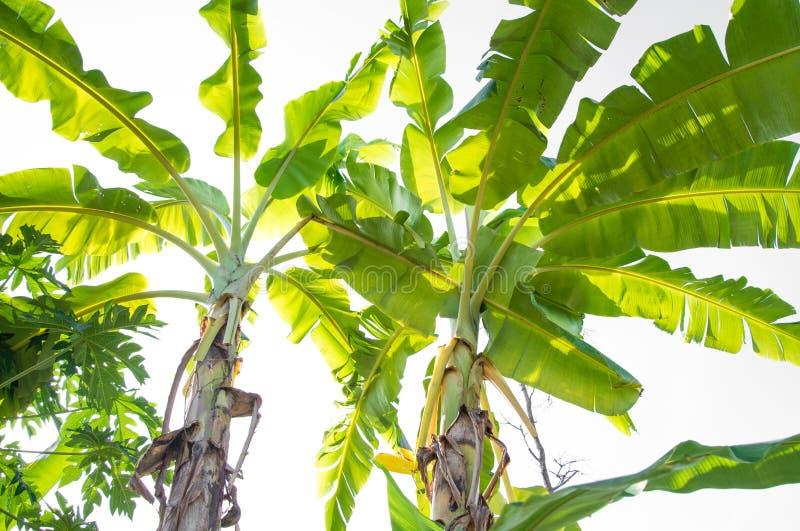 Bananträd i natur royaltyfri bild