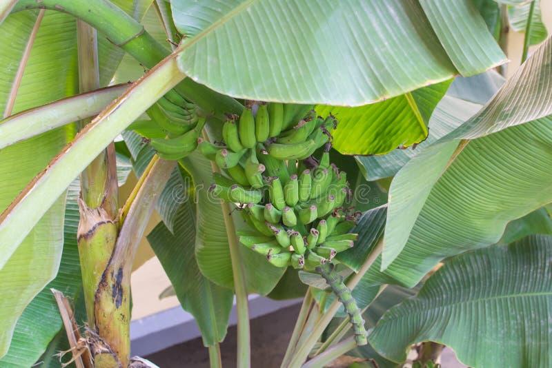 Bananträd Laden med omogna gröna bananer royaltyfri fotografi
