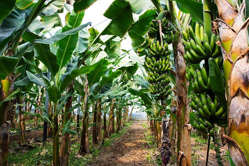 Bananträd med en knäpp grupp av att växa arkivbild
