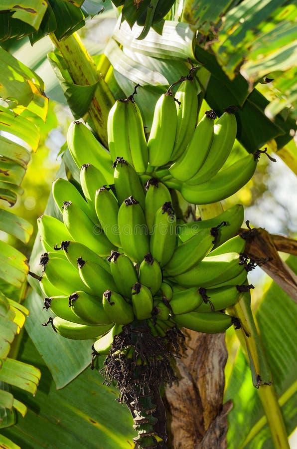 Bananträd med knäpp mogna arkivfoto